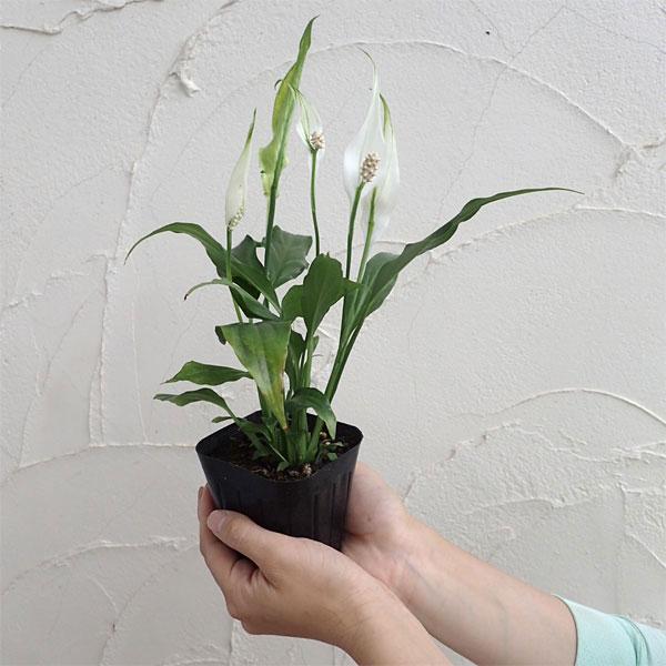 人気観葉植物スパティフィラム