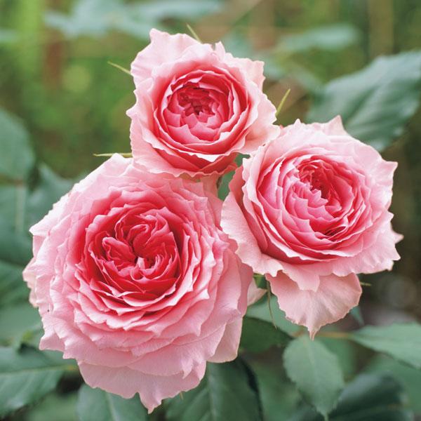 貧者 の 薔薇