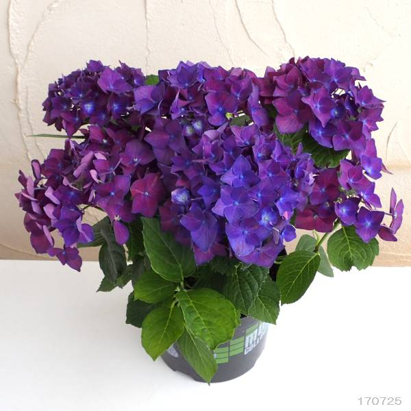 紫陽花 ディープ パープル